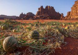 Дикий арбуз в пустыне